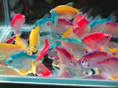 GloFish® Barbs