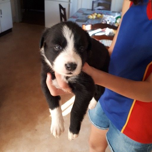 Border Collie Pups Females