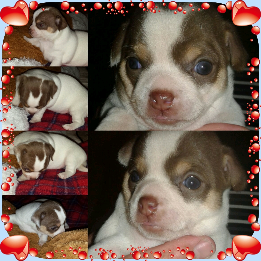 1 x Registered Female Chihuahua Puppy For Sale