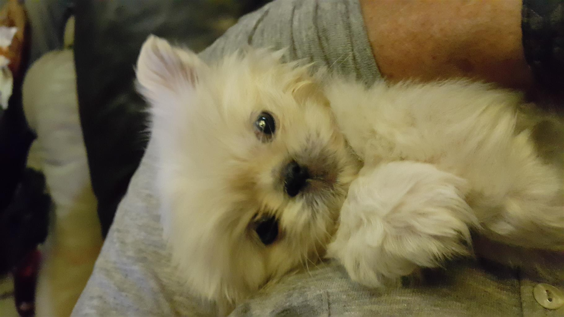 Pekingese puppy miniture white 8 weeks old female