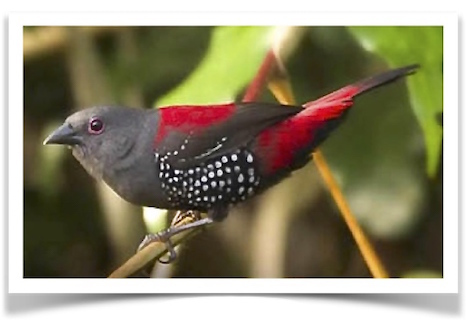 african finches wanted