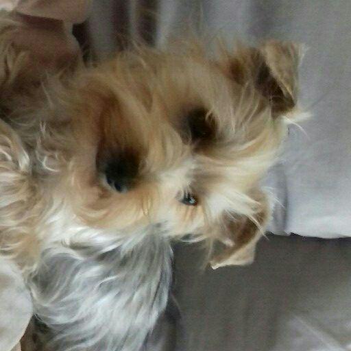 Yorkshire terrier reun