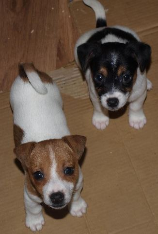 Jack Russel cross Fox terrier