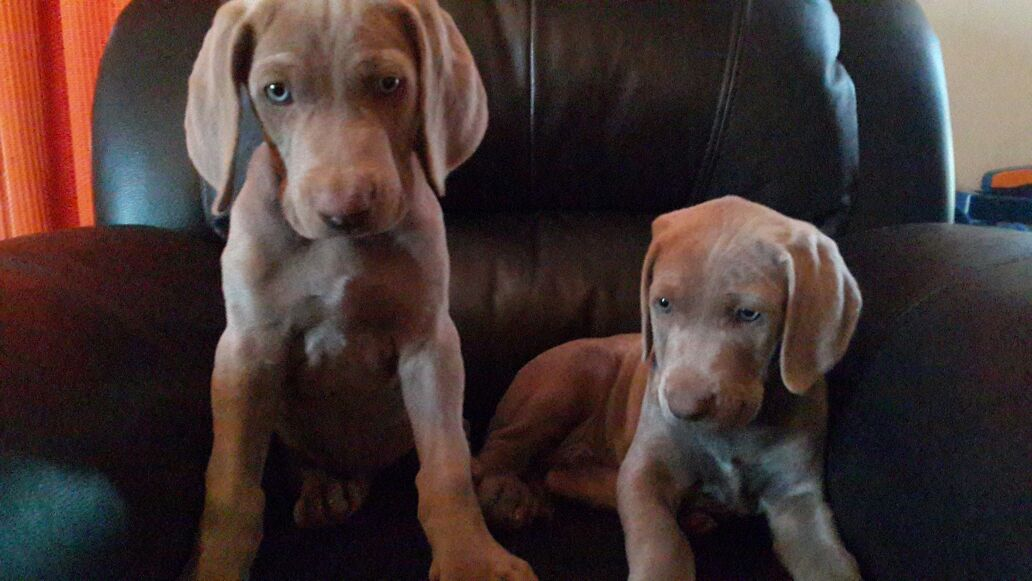Beautiful Weimaraner Puppies looking for loving homes.