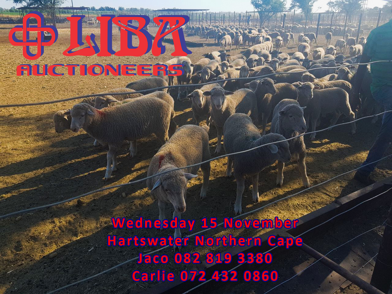 Livestock auction 15 November at Liba Auctioneers in Hartswater