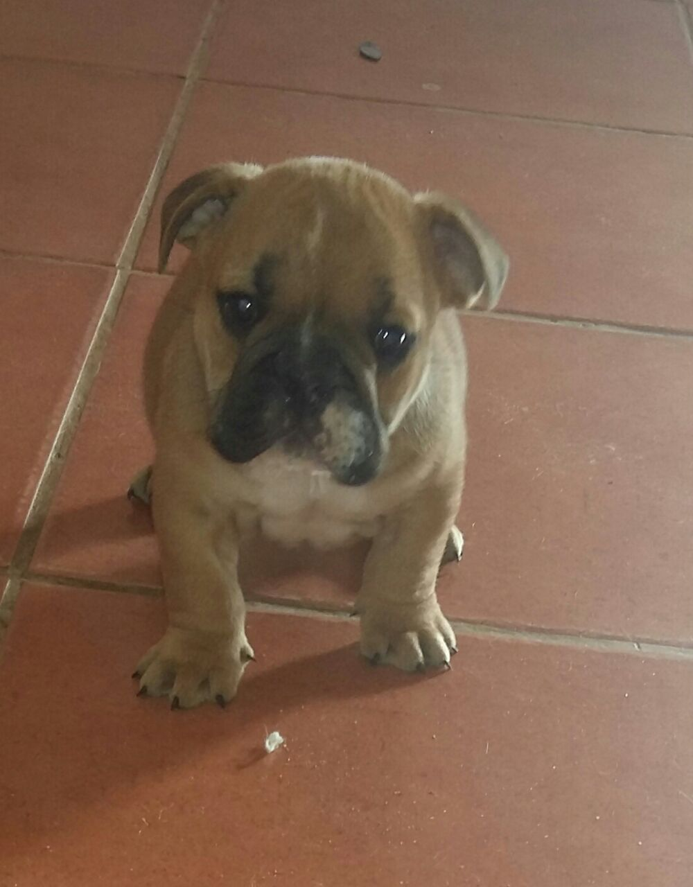 English Bulldog puppies for sale | Junk Mail