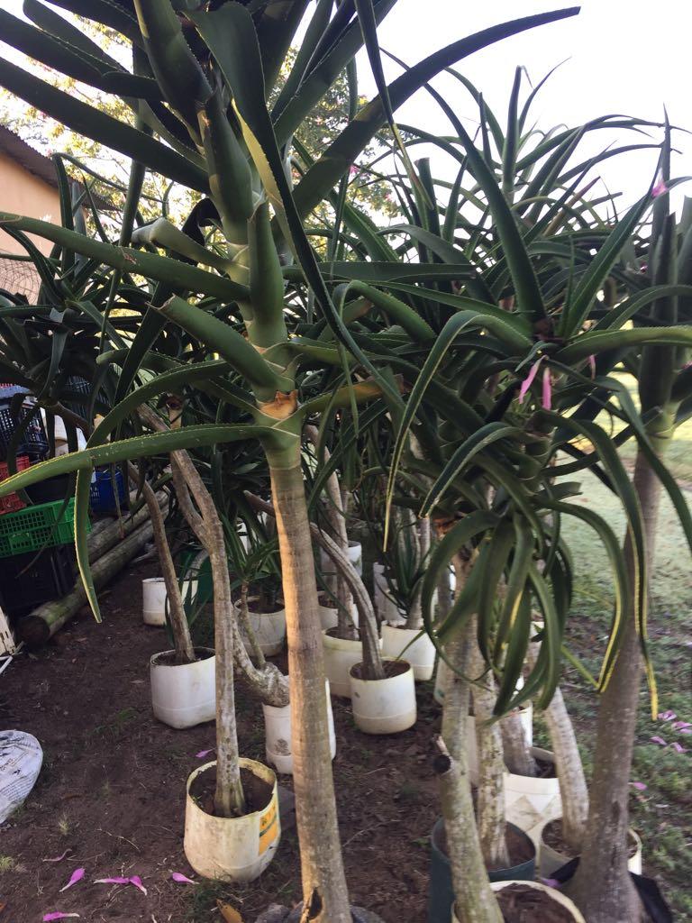 Aloe Barbarea,tree aloe