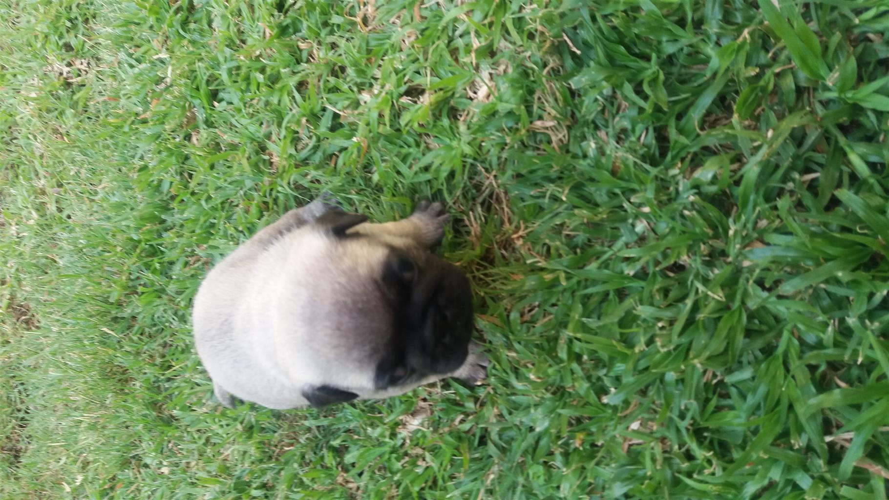 1 Beautifull Pug Puppie