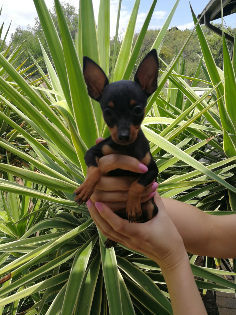 Miniature Doberman
