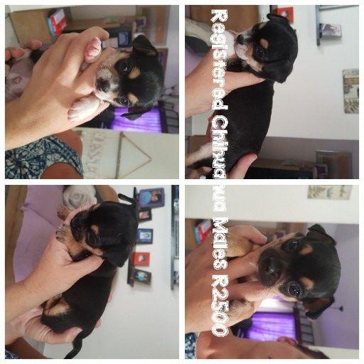 Registered Chihuahuas
