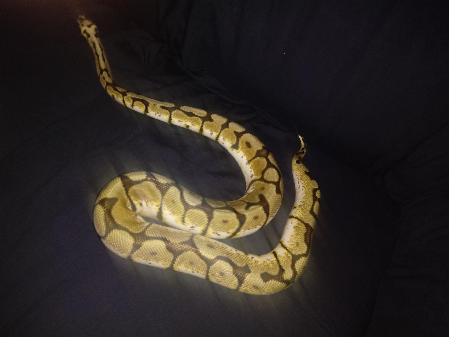 Ball Pythons for sale