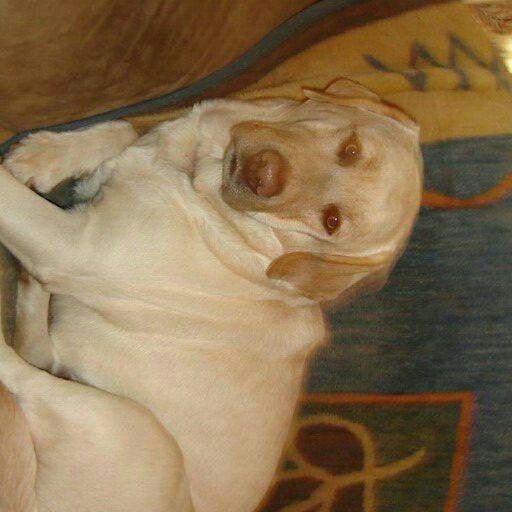 purebred Labrador yellow pups both parents kusa reg