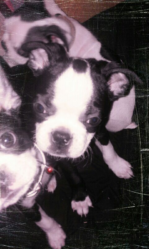 Boston terrier reuntjies