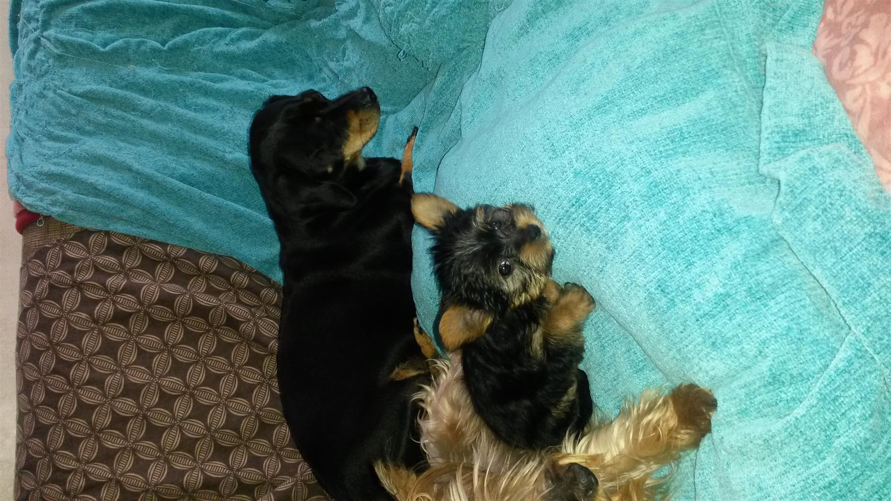 Yorkshire Terrier - Male