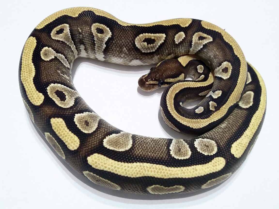 Mojave Yellow Belly Ball Python Female