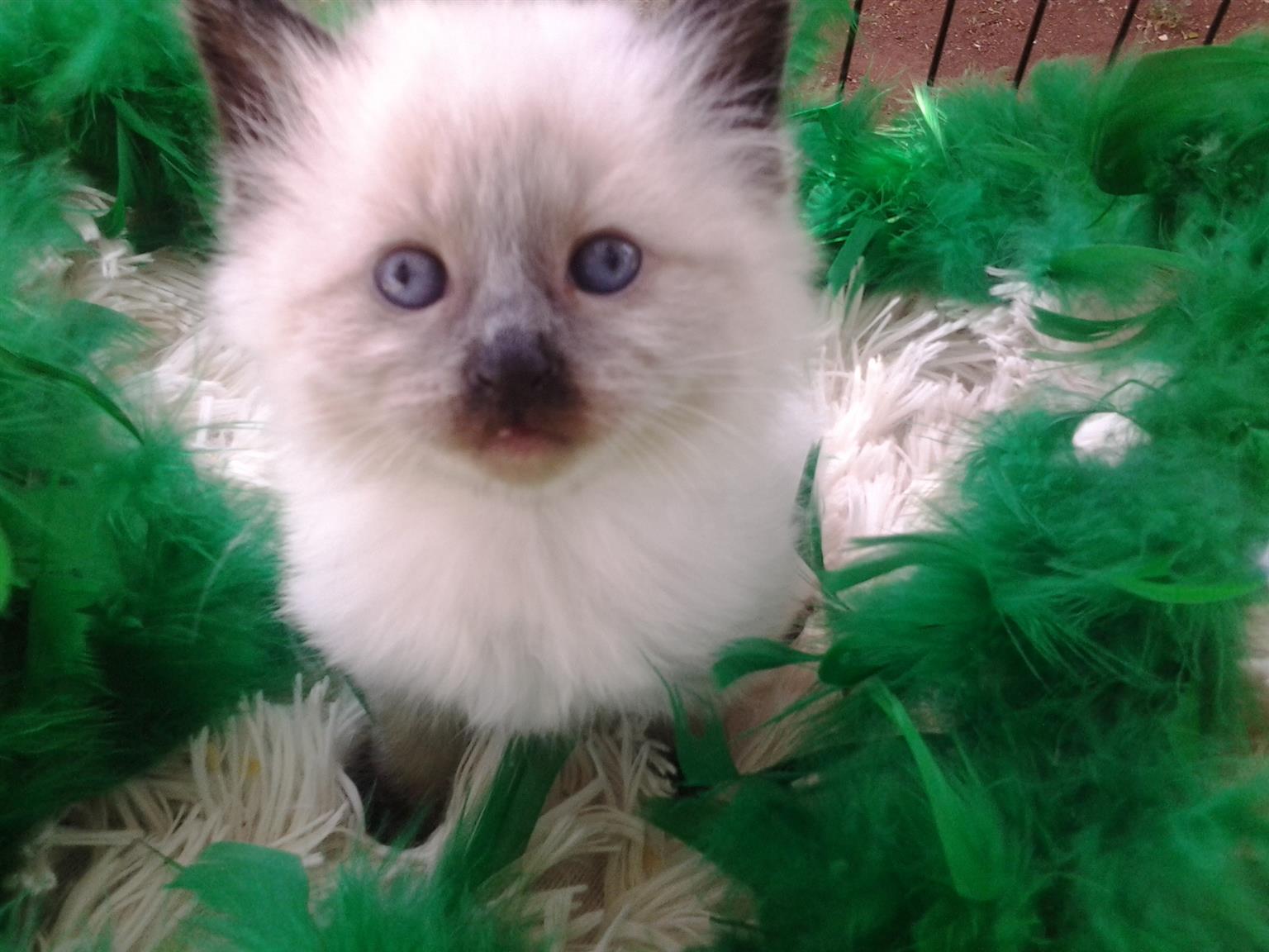 Ragdoll pure bred kittens.