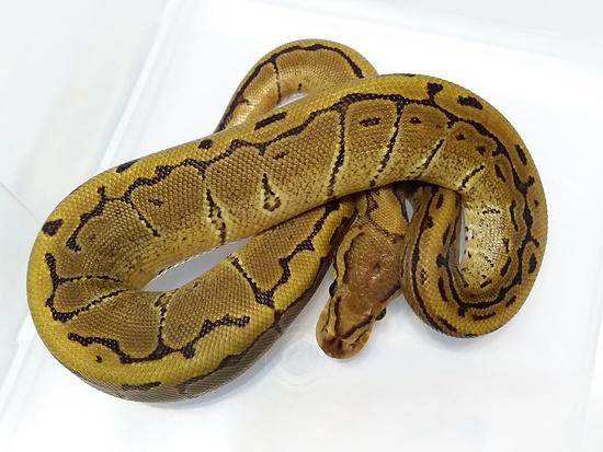 Vanilla Pinstripe Ball Python Female