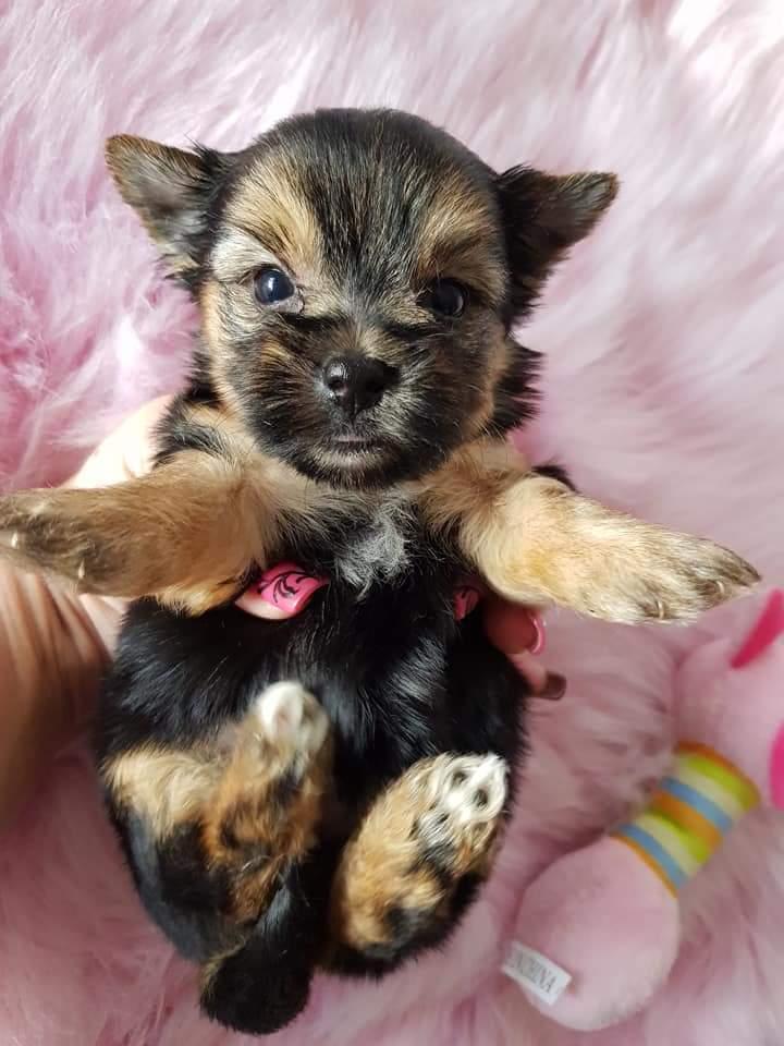 Yorkshire terrier girl