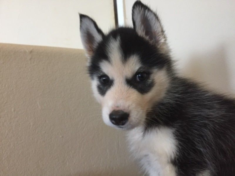 Husky Puppies for sale - ONLY TWO MALES LEFT!