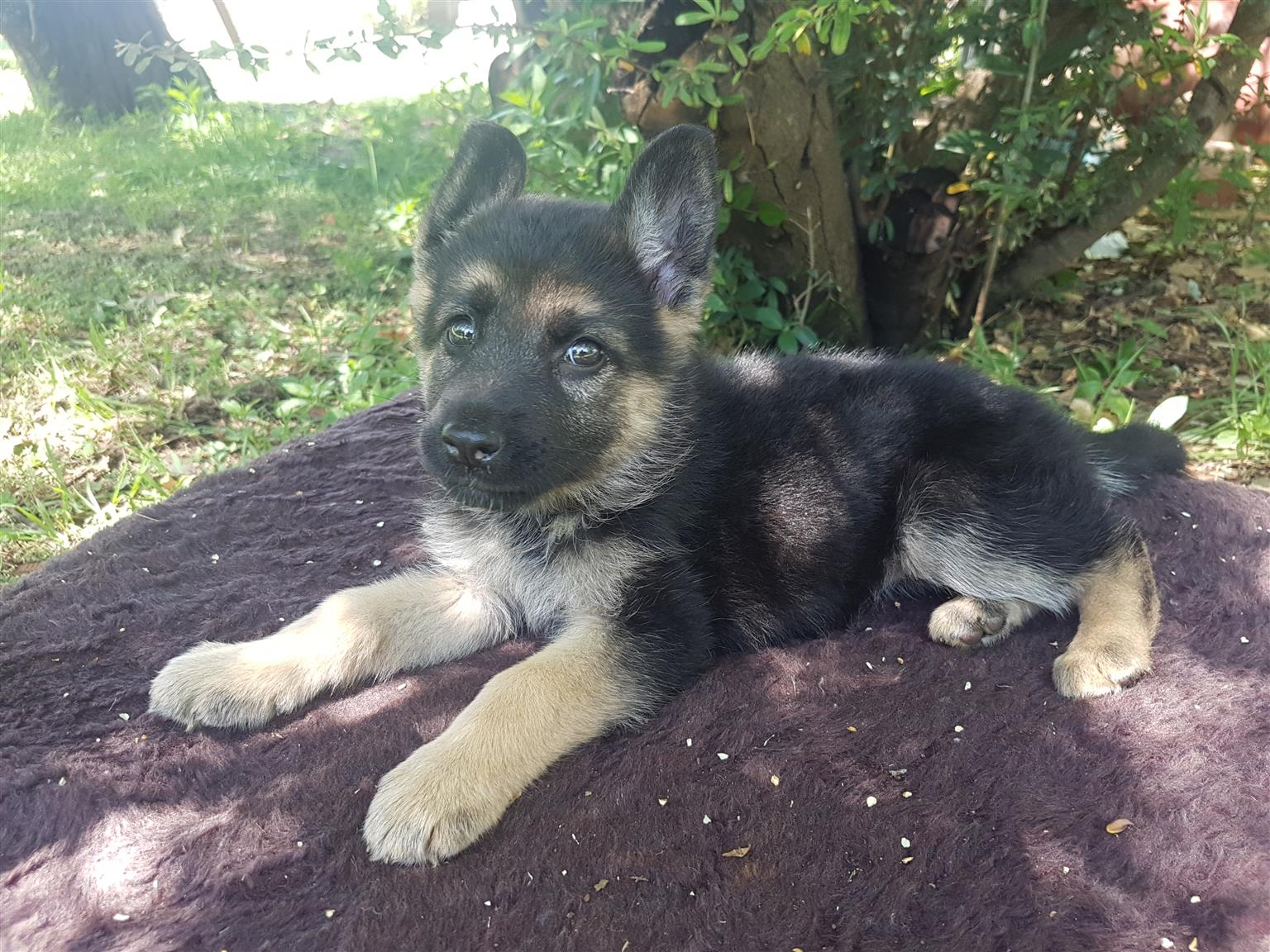 German Shrpherd puppies