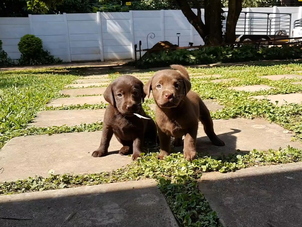 KUSA Registered Chocolate Labrador Puppies for Sale