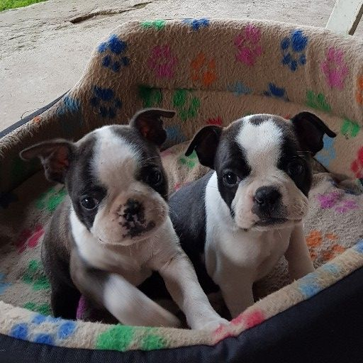Boston terrier babies
