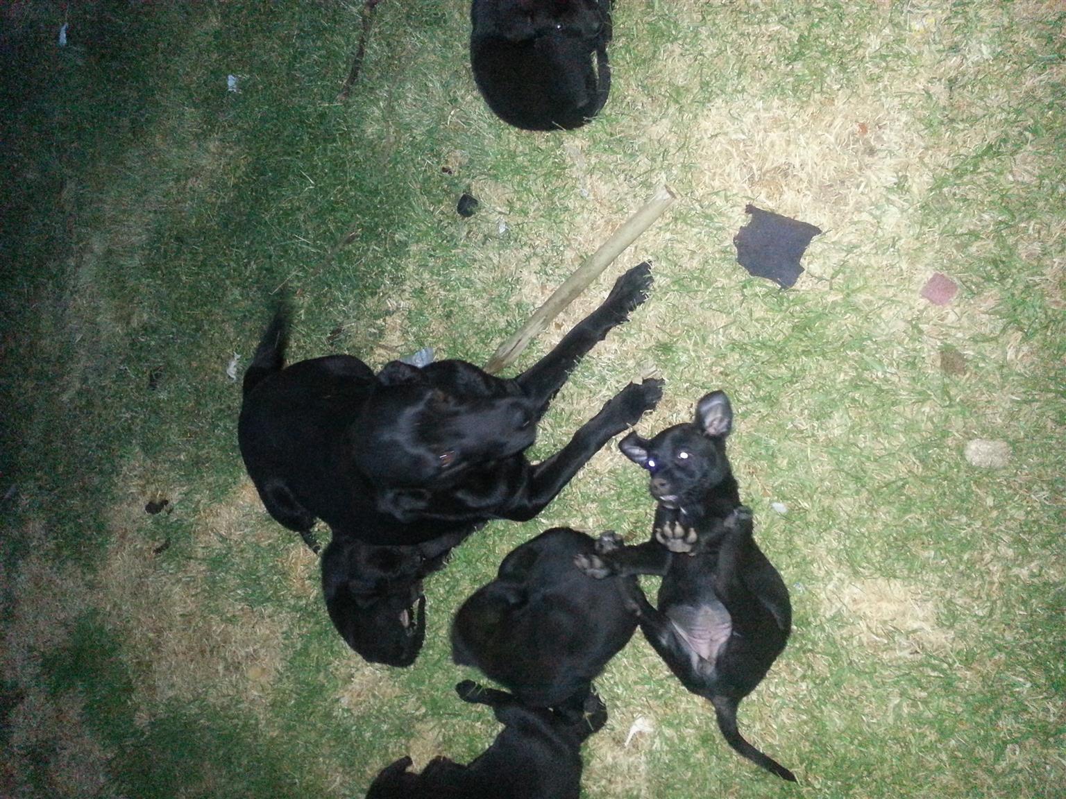 Healthy Labrador Puppies for sale