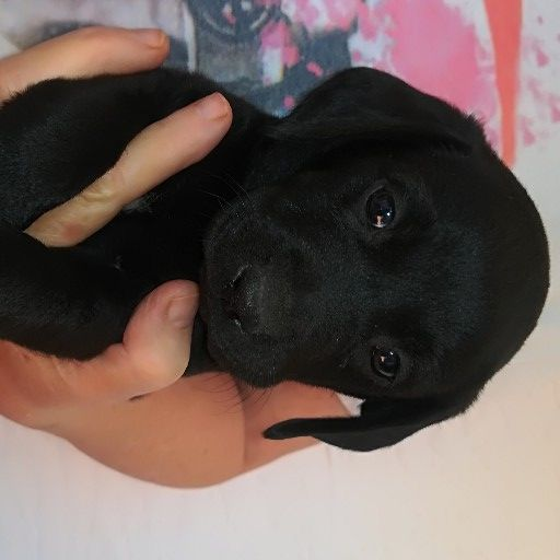 Labrador black pups