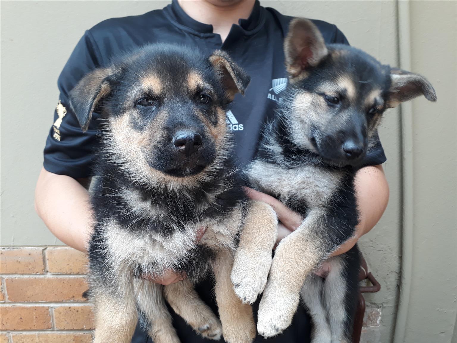 German Shepard / Husky