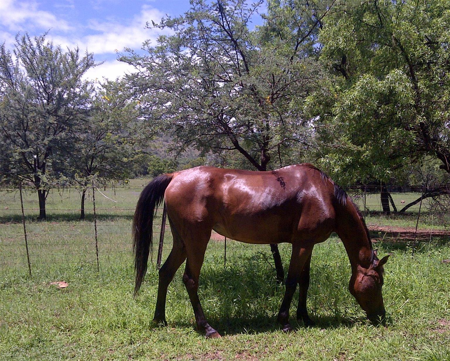 Arabian mare for sale -from NIYASHIN EL SHAKLAN [IMP]