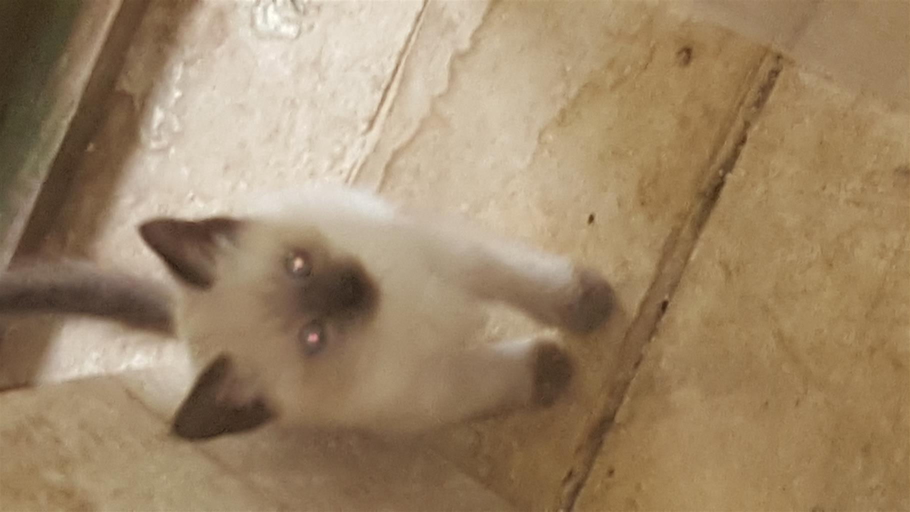Red and blue Seal point Siamese Kittens for Sale.