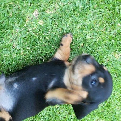 little dachshund puppies