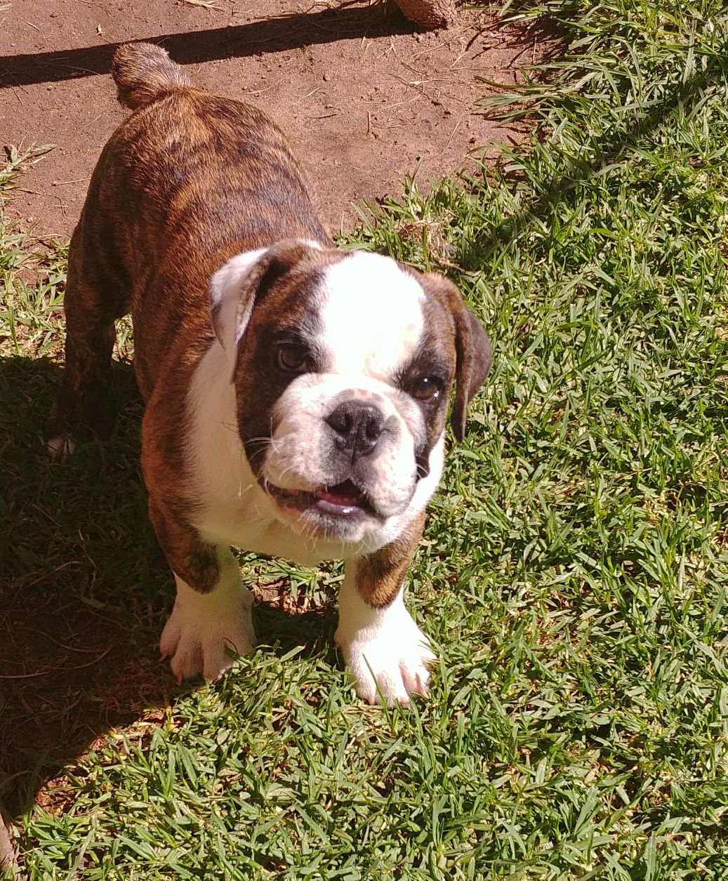 Beautiful KUSA Reg English Bulldog puppies available and ready for their forever homes!
