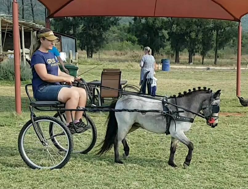 Very talented Miniature horse Gelding for sale. Busy with cart training.