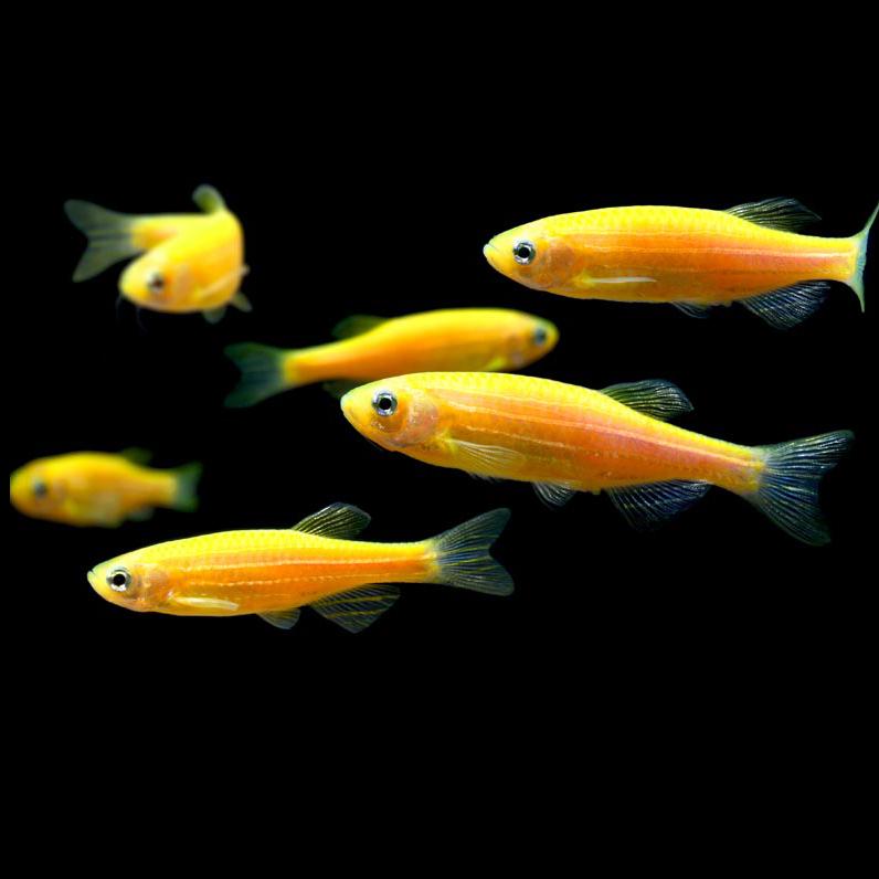 GloFish® Danios