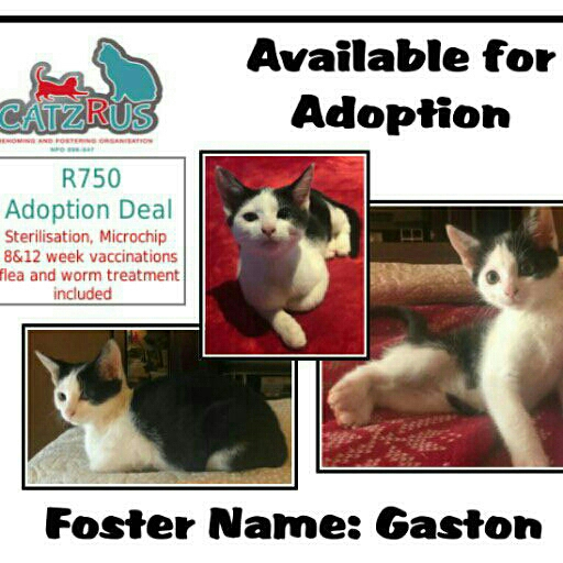 Help us help Gaston find his happy forever. A CatzRUs kitten.