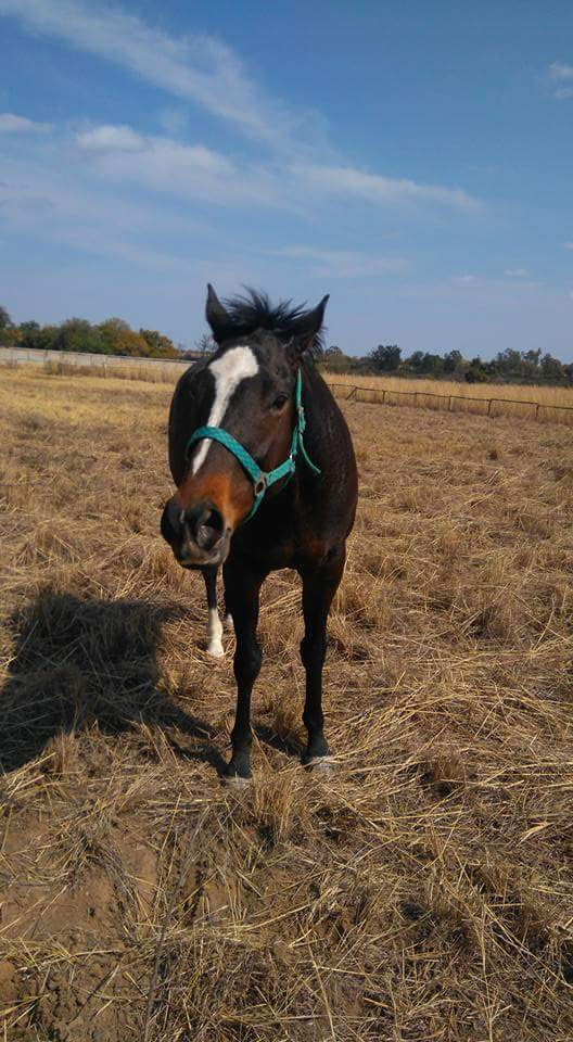Beautiful Thoroughbred mare for sale