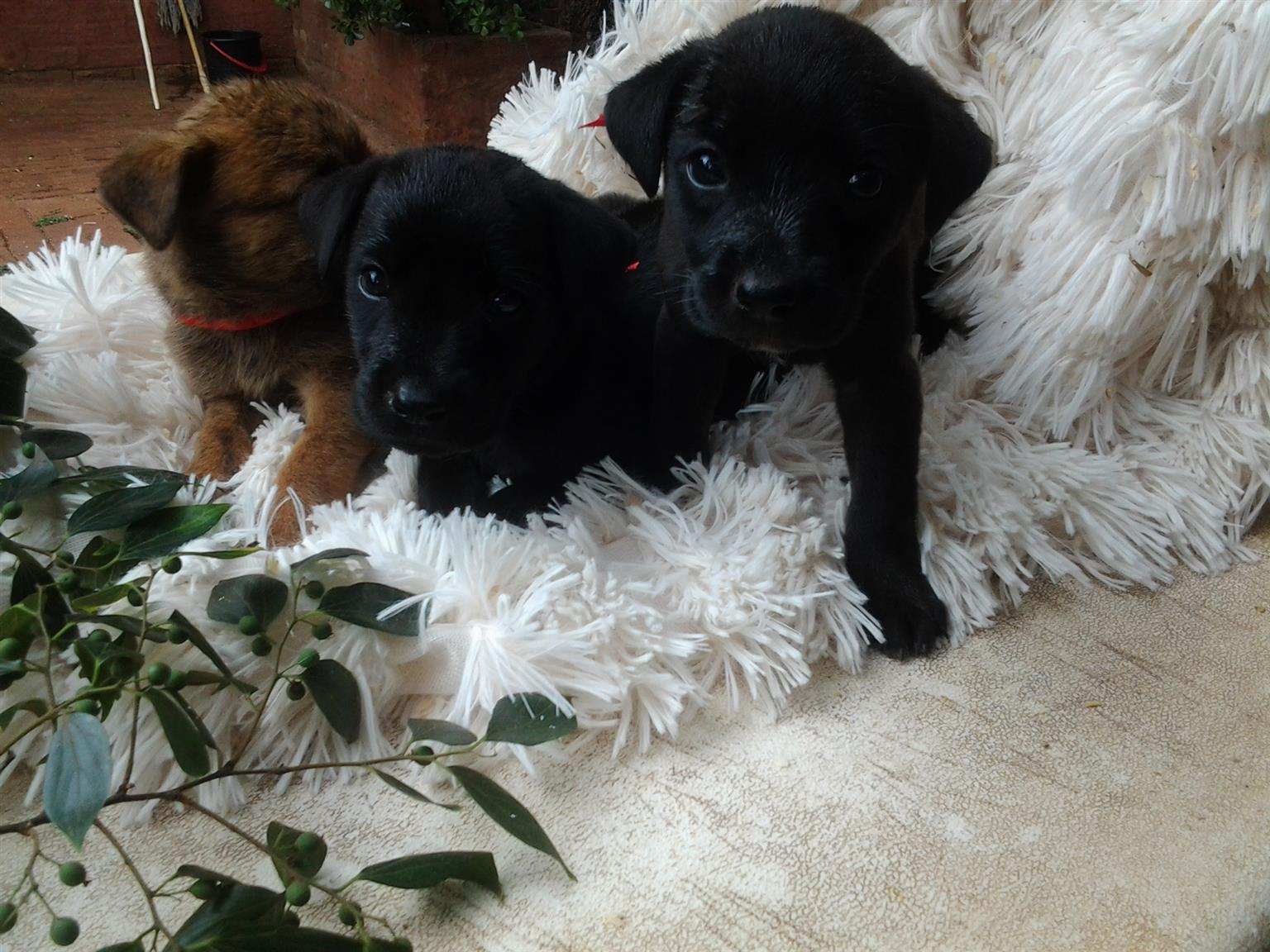 Labrador Ridgeback puppys