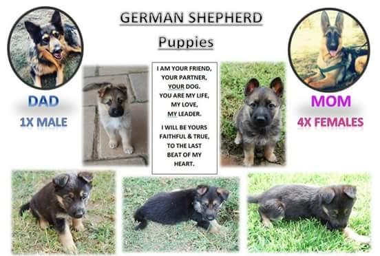 German Shepperd Puppies