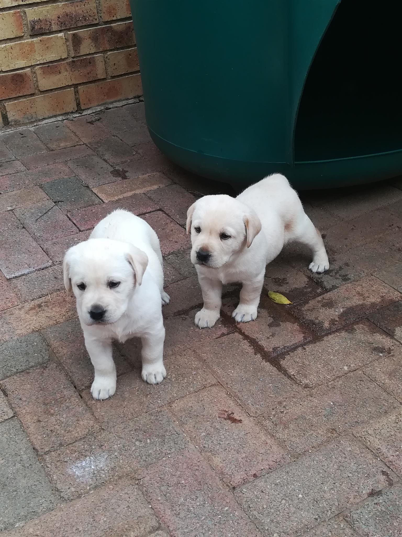 GORGEOUS LABRADOR PUPPIES FOR SALE