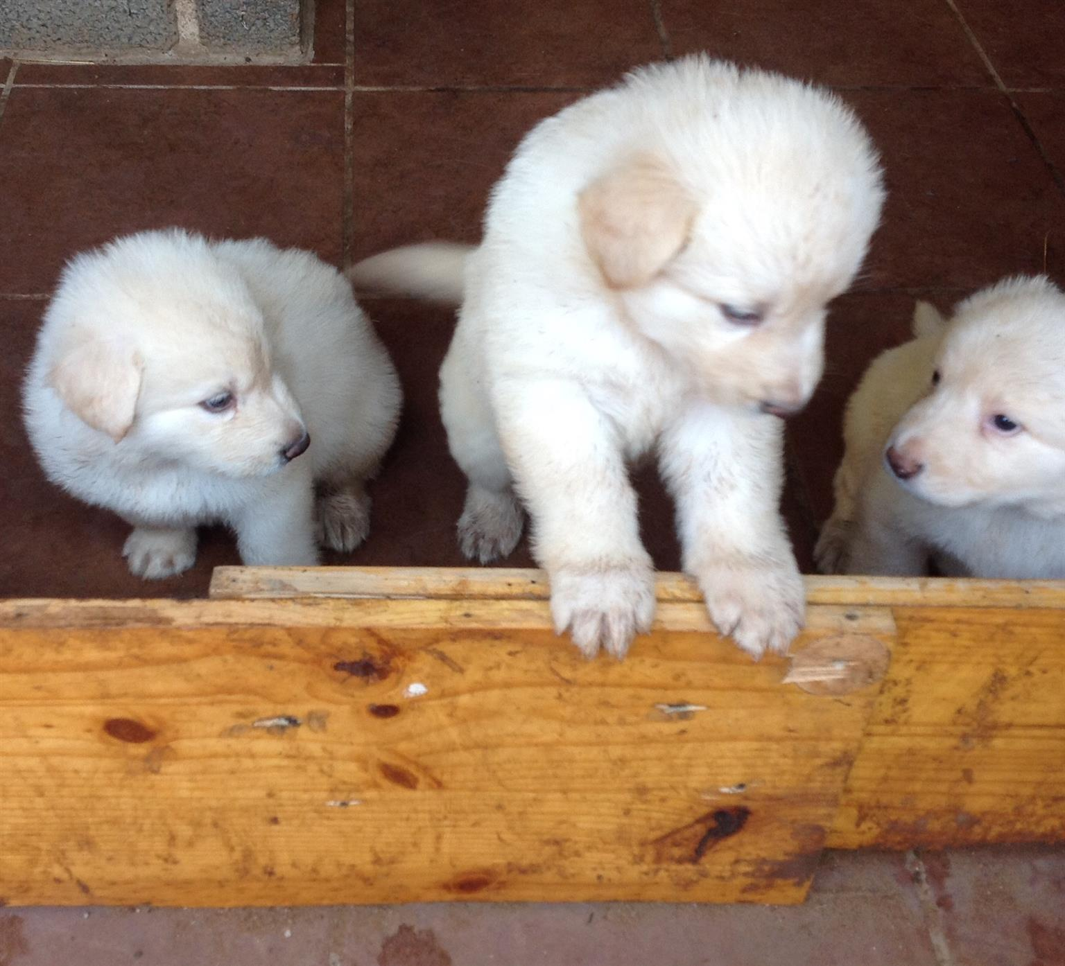 4 x white German Shepard puppies