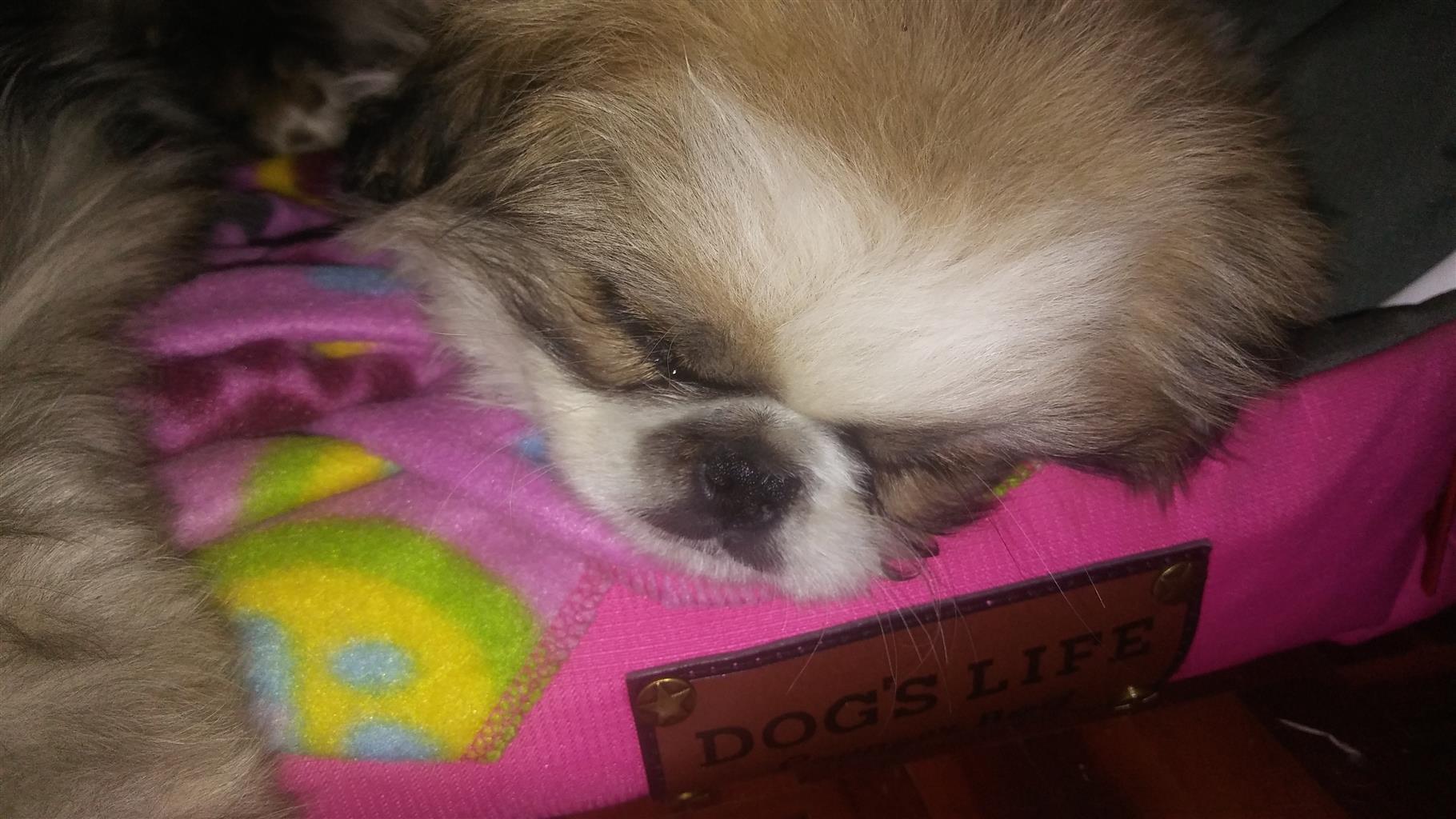 Pekingese 6mnth pups for adoption
