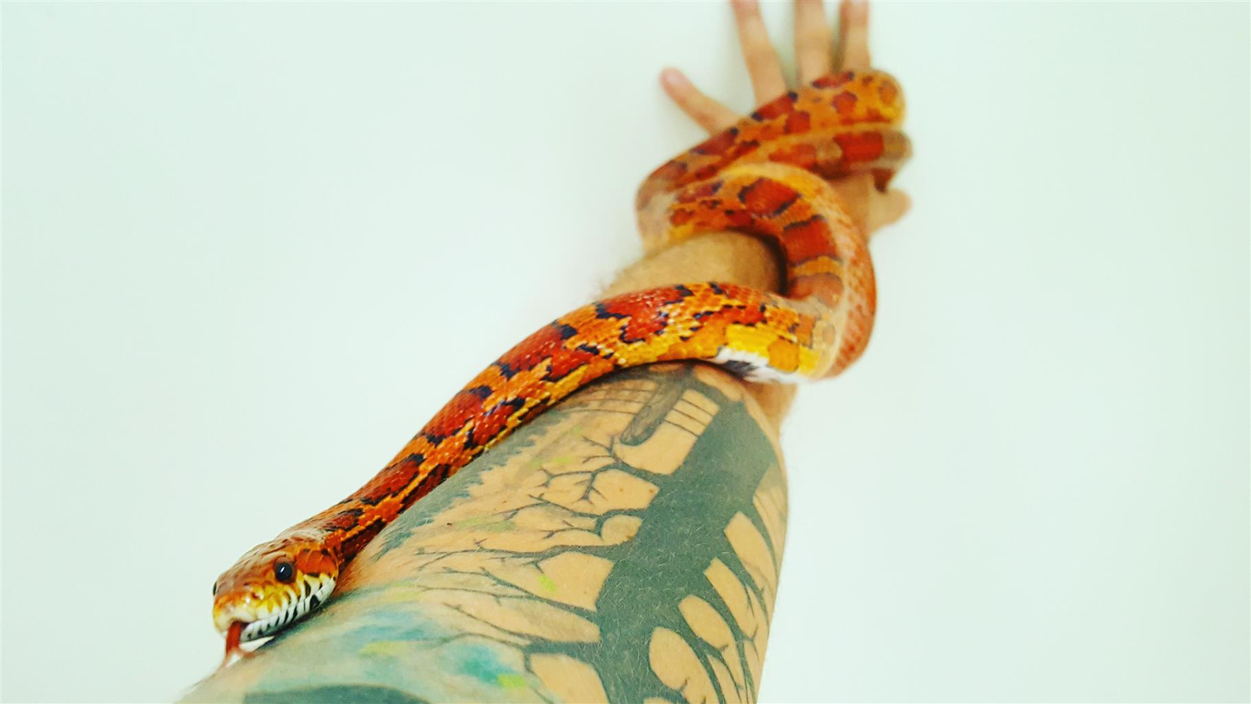 Male and female pair corn snakes with 1.2m tank