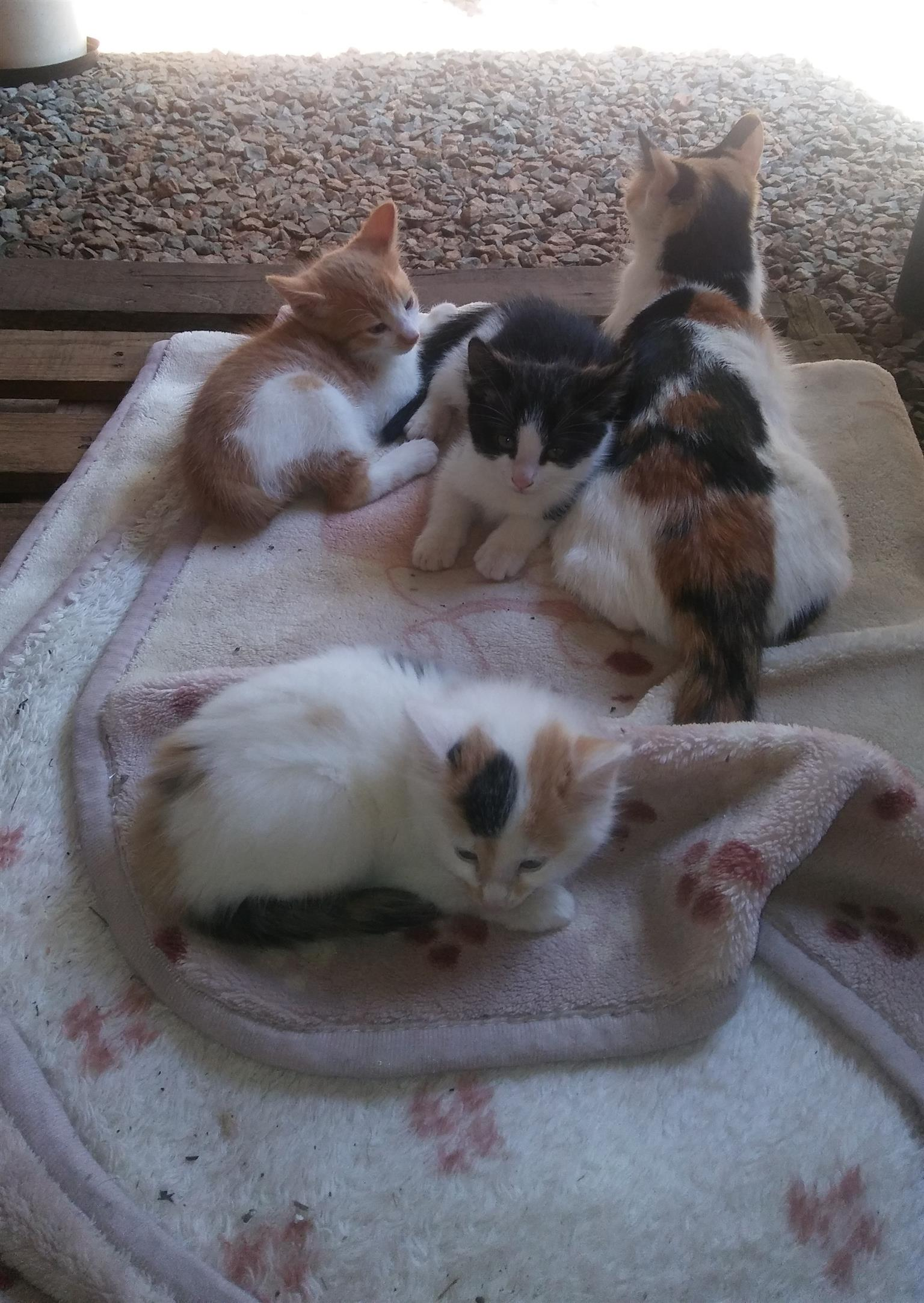 CUTE FRIENDLY KITTENS FOR SALE IN JHB SOUTH