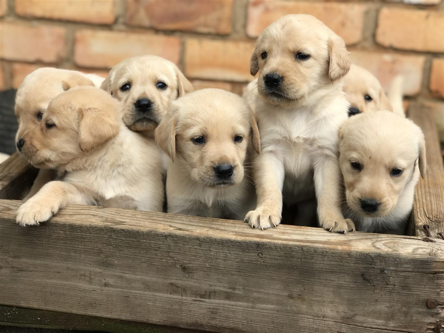 Beautiful labrador puppies for sale