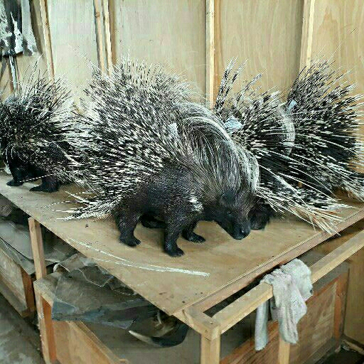 Taxidermy Full Mount Porcupines