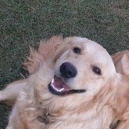 Retriever pups