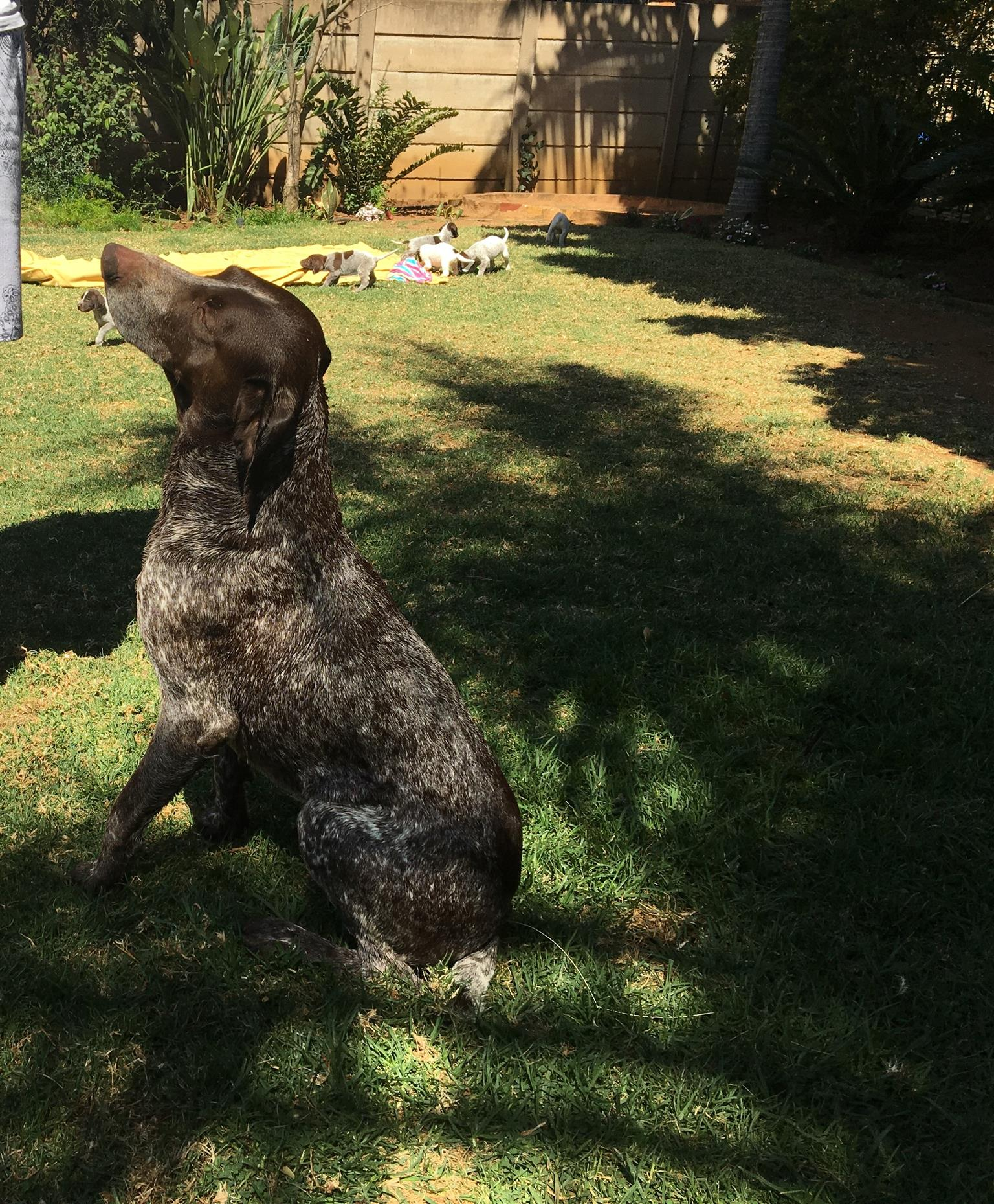 German Shorthaired Pointer puppy's for sale