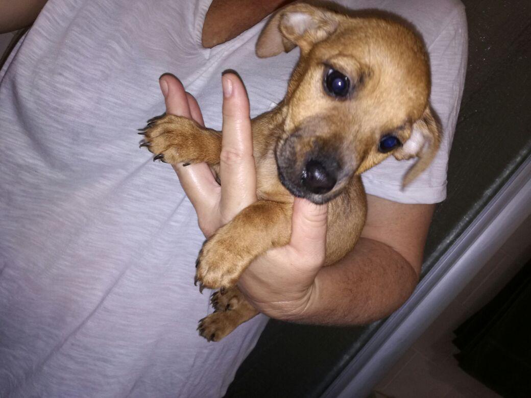 dachshund puppies cross.