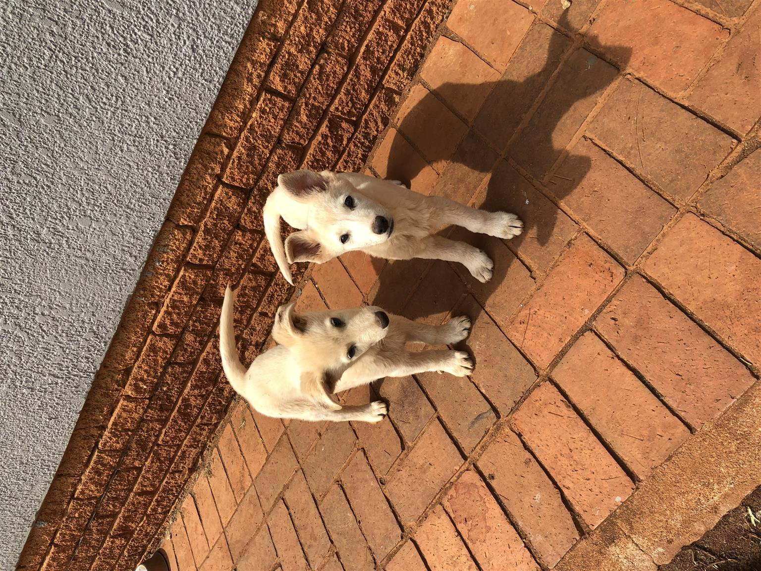 White female german Shepherd puppies